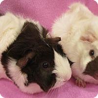 Adopt A Pet :: Eliza - Steger, IL