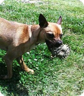 Italian Greyhound/Pug Mix Puppy for adoption in Mastic Beach, New York - TUCK!!