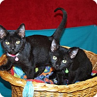 Domestic Shorthair Kitten for adoption in Jackson, Mississippi - Beemer & Bentley
