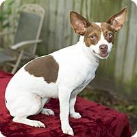 Adopt A Pet :: Dixie Doodle - Santa Fe, TX