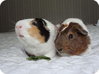 Guinea Pig for adoption in Pine Bush, New York - Teddy and Ozzy