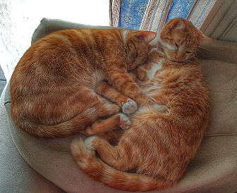 Domestic Shorthair Cat for adoption in Germantown, Maryland - Ms Ginger & Ms Oats