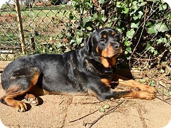 Rottweiler Dog for adoption in Gibbstown, New Jersey - Sugar