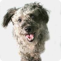 Adopt A Pet :: Galadriel - McKinney, TX