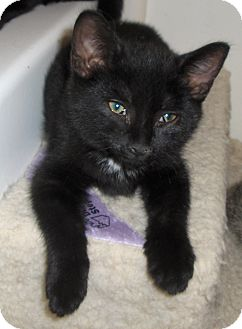 Domestic Shorthair Kitten for adoption in Richmond, Virginia - Blackie