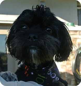 Shih Tzu/Lhasa Apso Mix Dog for adoption in white settlment, Texas - Britches