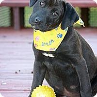 Adopt A Pet :: Midnight - Albany, NY
