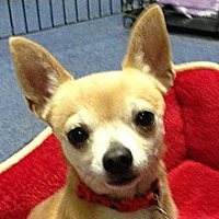 Chihuahua Mix Dog for adoption in Phoenix, Arizona - Beau