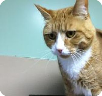 Domestic Shorthair Cat for adoption in Quilcene, Washington - Julious