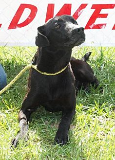 Labrador Retriever Mix Dog for adoption in Grayson, Louisiana - Jett