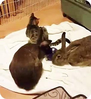 Flemish Giant Mix for adoption in Hazlet, New Jersey - Channel