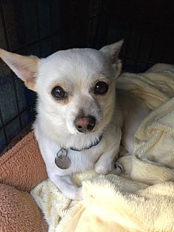 Chihuahua/Pomeranian Mix Dog for adoption in Mount Pleasant, South Carolina - Snowball