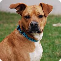 Boxer Mix Dog for adoption in Coeburn, Virginia - TOOTSIE