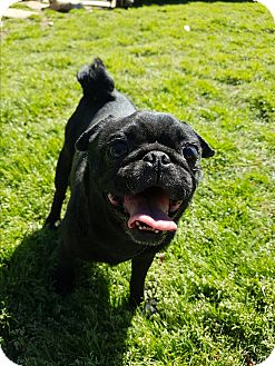 Pug Dog for adoption in Crump, Tennessee - Abigail