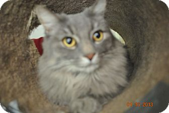 Maine Coon Cat for adoption in Laguna Woods, California - Penny