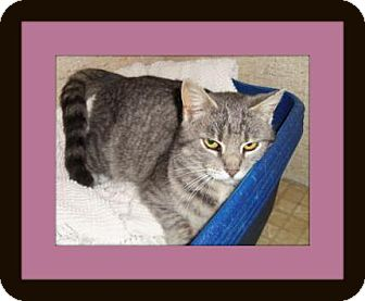 Domestic Shorthair Cat for adoption in Medford, Wisconsin - PHOEBE