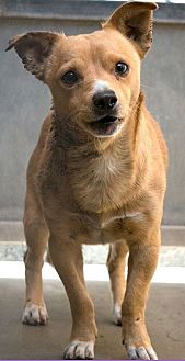 Terrier (Unknown Type, Small) Mix Dog for adoption in Fountain Valley, California - Kobe