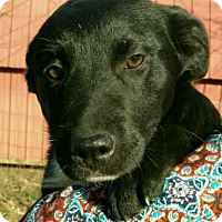 Adopt A Pet :: Sheba - Harrisonburg, VA