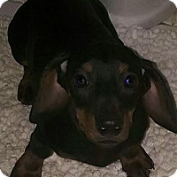 Adopt A Pet :: I'M ADPTD Ch Style Dogs Pickle - Oswego, IL