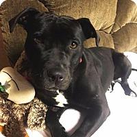 Adopt A Pet :: Dove - Dearborn, MI