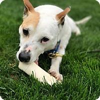 Corgi/Feist Mix Dog for adoption in Glastonbury, Connecticut - Jerry ~ meet me!