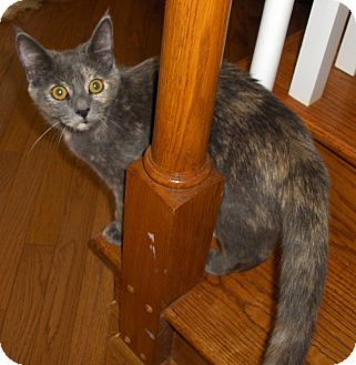 Domestic Shorthair Cat for adoption in Richmond, Virginia - China
