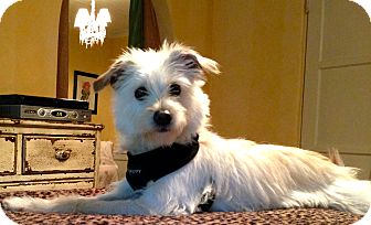 Terrier (Unknown Type, Small) Mix Dog for adoption in Thousand Oaks, California - Huxley
