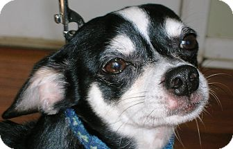 Chihuahua Dog for adoption in Plain City, Ohio - Jackie Jackson