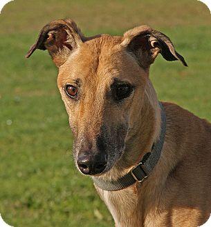 Greyhound Dog for adoption in Portland, Oregon - Mikey