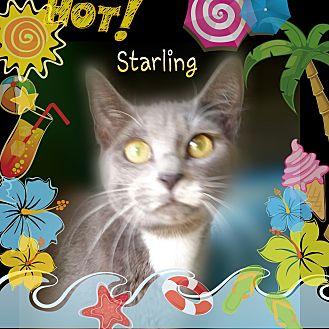 Russian Blue Cat for adoption in Ocala, Florida - Starling aka MushMush