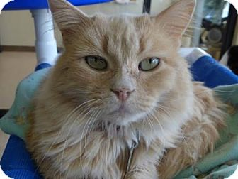 Domestic Longhair Cat for adoption in Evans, Colorado - Martha