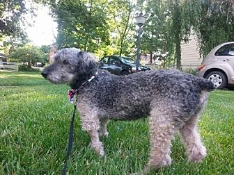 Poodle (Miniature) Dog for adoption in Bellbrook, Ohio - Horace