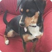 Miniature Pinscher/Corgi Mix Dog for adoption in Columbus, Ohio - Nikki