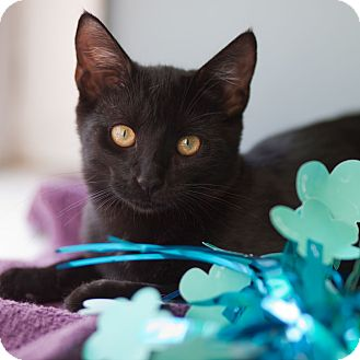 American Shorthair Kitten for adoption in Avon, New York - Violet
