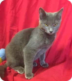 Russian Blue Kitten for adoption in Santa Monica, California - ELLIOT