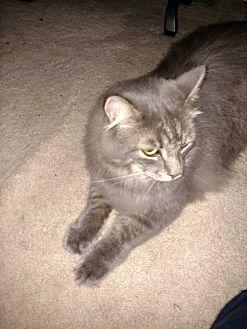 Domestic Longhair Cat for adoption in Covington, Pennsylvania - Bailey