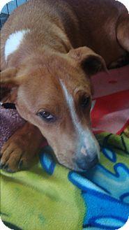 Treeing Walker Coonhound Mix Puppy for adoption in Old Bridge, New Jersey - Blaze