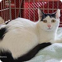 Adopt A Pet :: Domino - Merrifield, VA