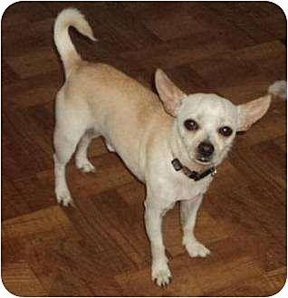 Chihuahua Dog for adoption in Crescent, Oklahoma - Joe Joe