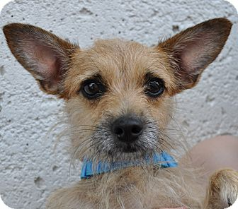 Terrier (Unknown Type, Small)/Chihuahua Mix Dog for adoption in Atlanta, Georgia - Crissy