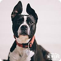 Adopt A Pet :: Bola - Portland, OR