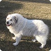 Great Pyrenees Dog for adoption in Bloomington, Illinois - Miracle (sponsored sanctuary)