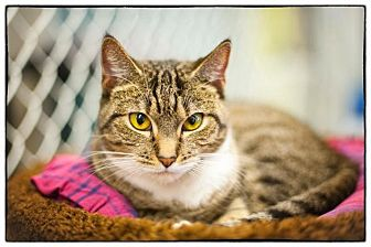 Domestic Shorthair Cat for adoption in Freeport, New York - Madonna