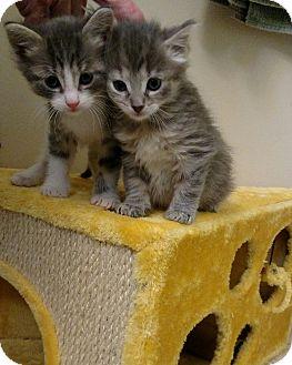 Domestic Longhair Kitten for adoption in Ypsilanti, Michigan - Pibble
