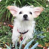 Adopt A Pet :: Penelope Lovely-Belle - santa monica, CA