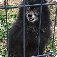Adopt A Pet :: Pip-squeak - Kansas City, MO