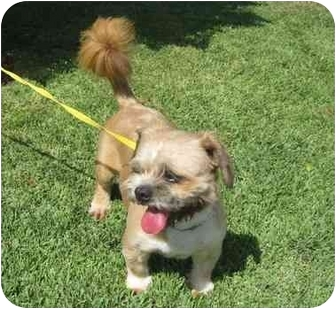 Lhasa Apso Mix Dog for adoption in Riverside, California - Max