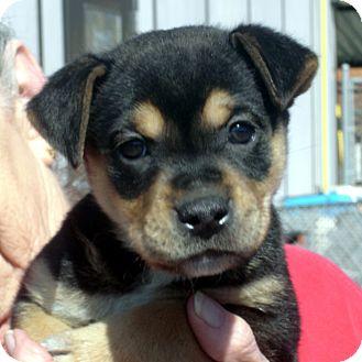 Rottweiler/German Shepherd Dog Mix Puppy for adoption in Greencastle, North Carolina - Tamara