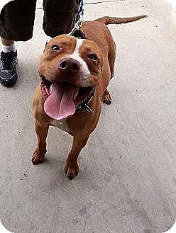 Pit Bull Terrier Mix Dog for adoption in Wichita Falls, Texas - Griffen