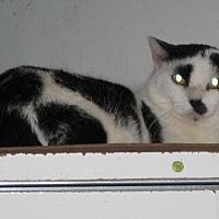 American Shorthair Cat for adoption in Sherman Oaks, California - Peekaboo - sponsor only